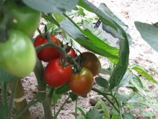 tomato0906.jpg