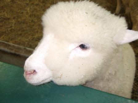8b2f羊3.jpg