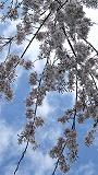 2007_0330(013)sakura1.jpg